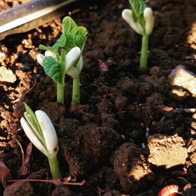 germinating beans.jpg