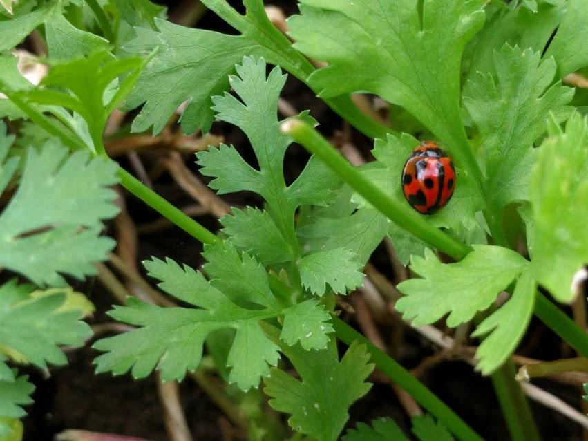 ladybug cilantro.jpg