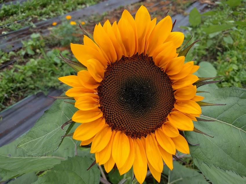 sunflower open.jpg