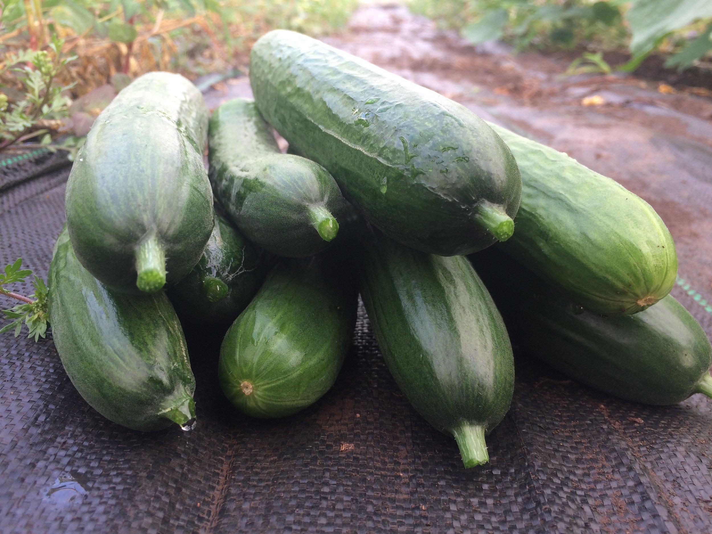 cucumber stack.JPG