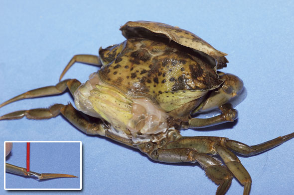 A crab in the advanced stage of peeling and, inset, a soft back leg is revealed