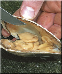 Open the shell with a knife to reveal the clam body inside