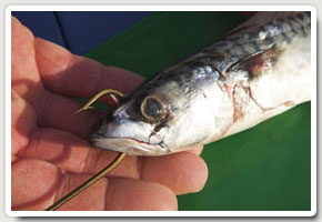 6. A mackerel flapper or head and guts section should be hooked through the lower jaw and head section