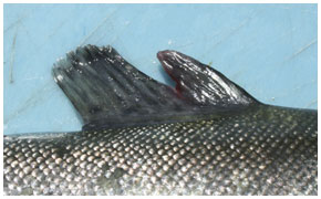 Split dorsal fins are common in recently stocked trout