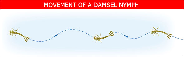 Damsel_Swimming.jpg