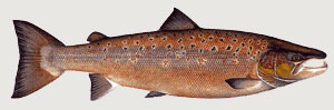 © Atlantic Salmon Trust