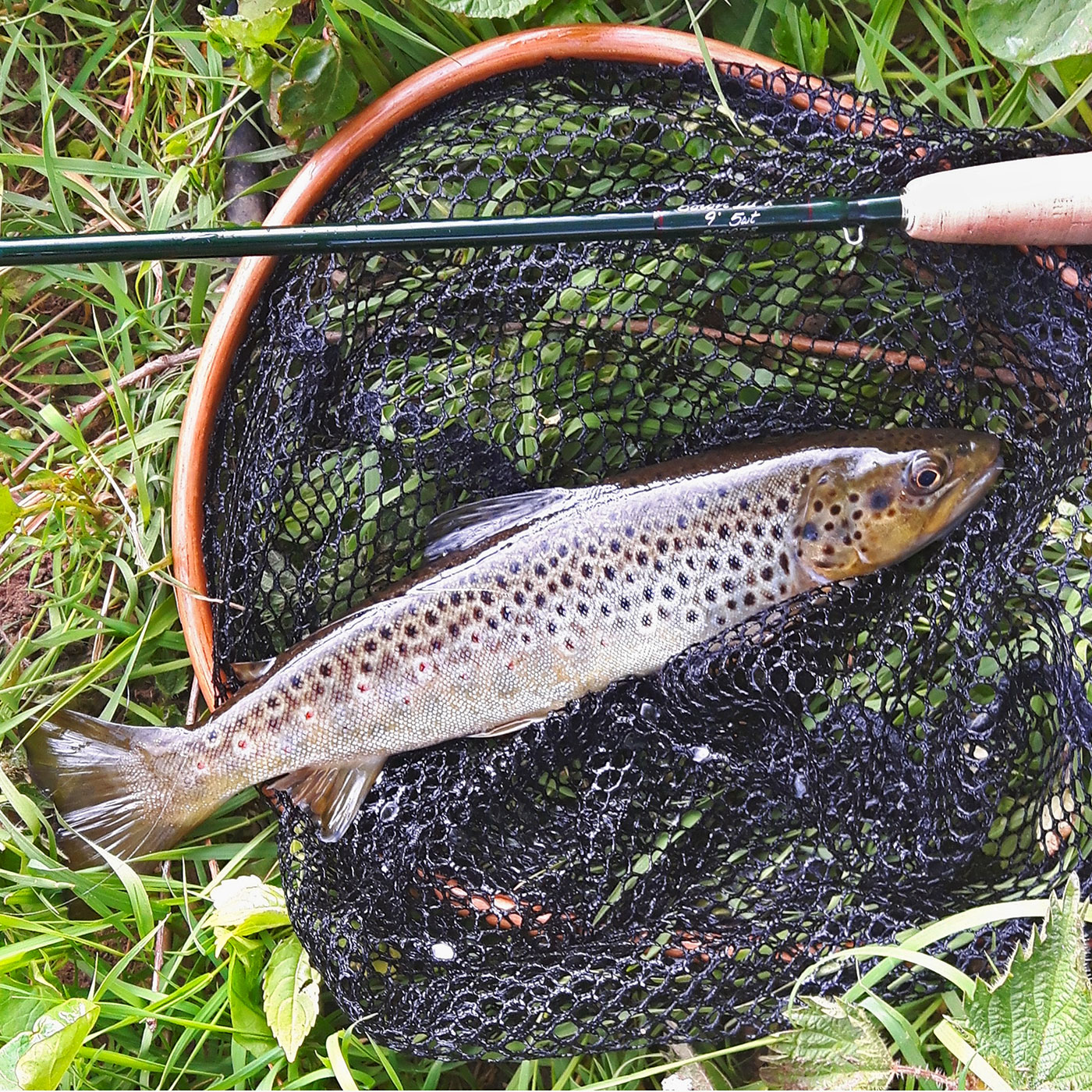 First River Derwent brown trout
