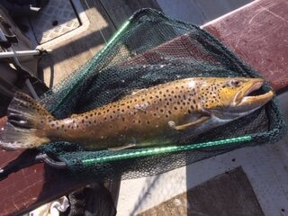 5lb male brown trout caught by John Graney at Blithfield Reservoir. Photograph courtesy of John Graney.