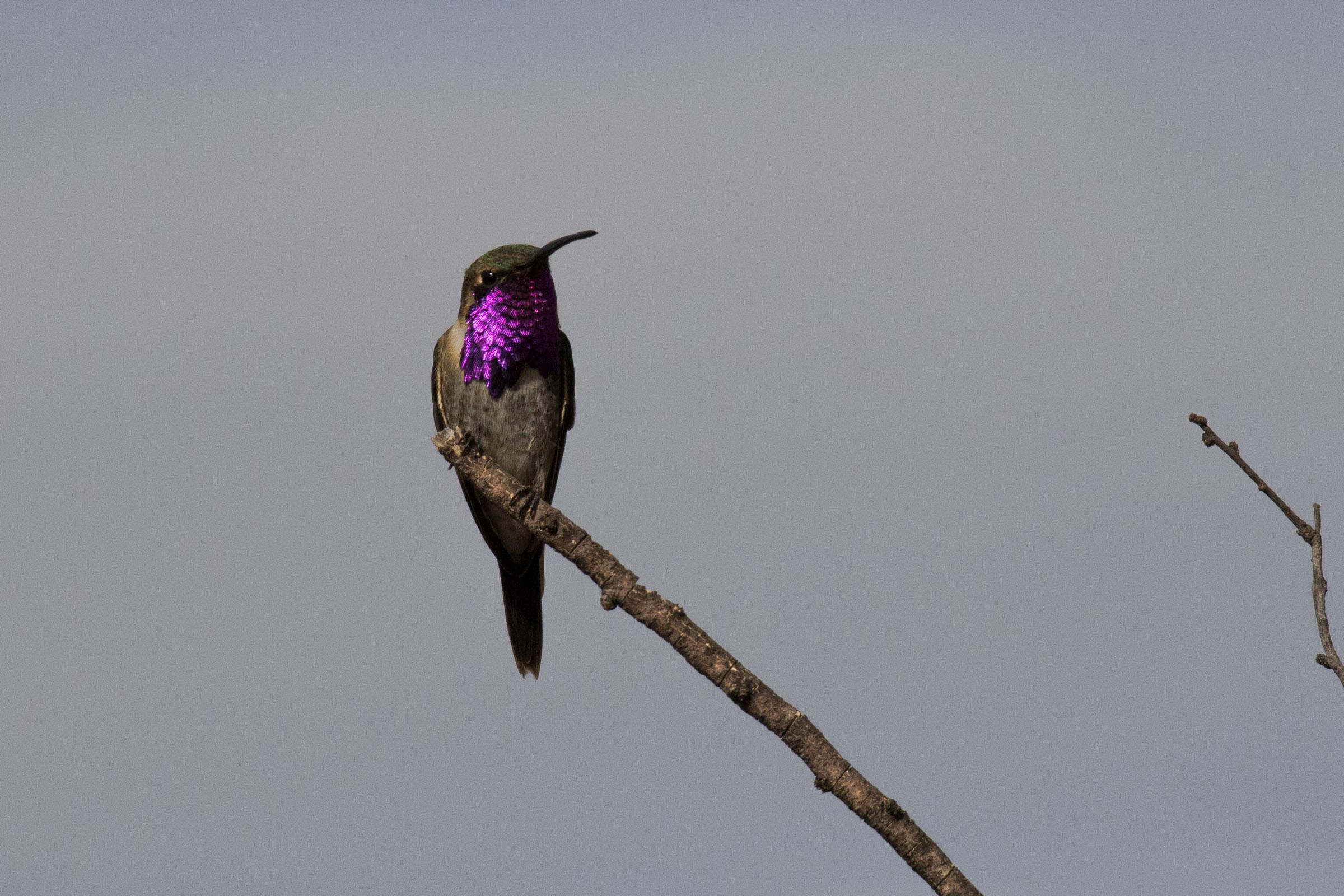 Lucifer_Hummingbird_AF9A8837.jpg