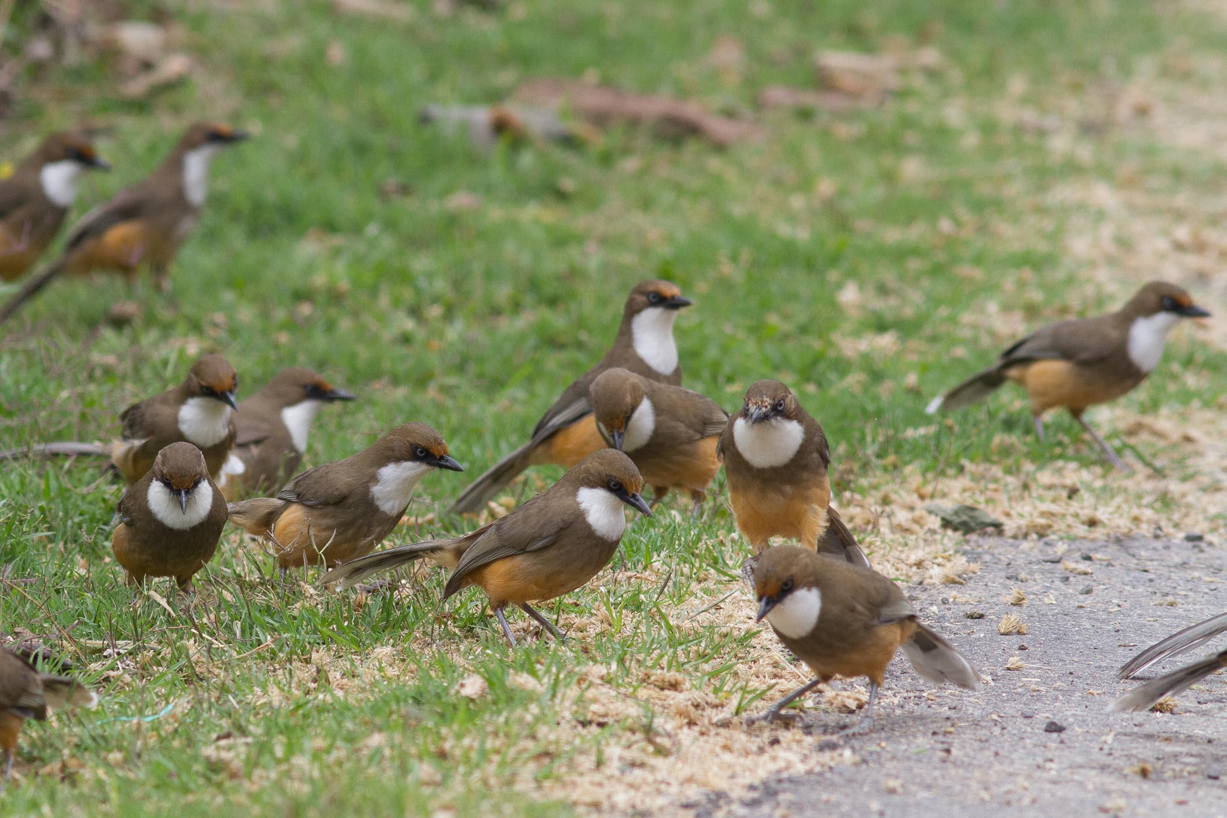 White-throated Laughingthrush flock