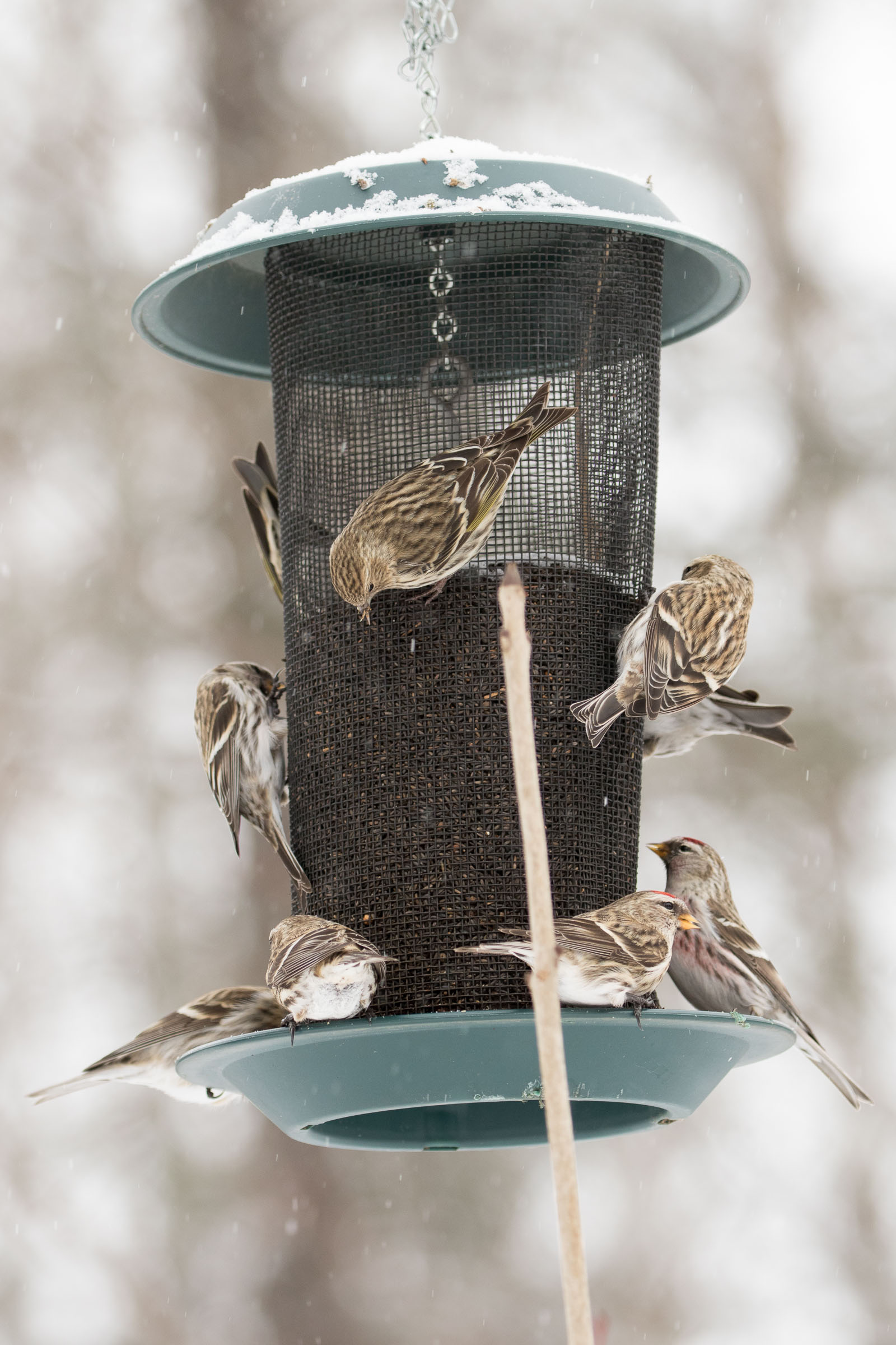 Feeder flock