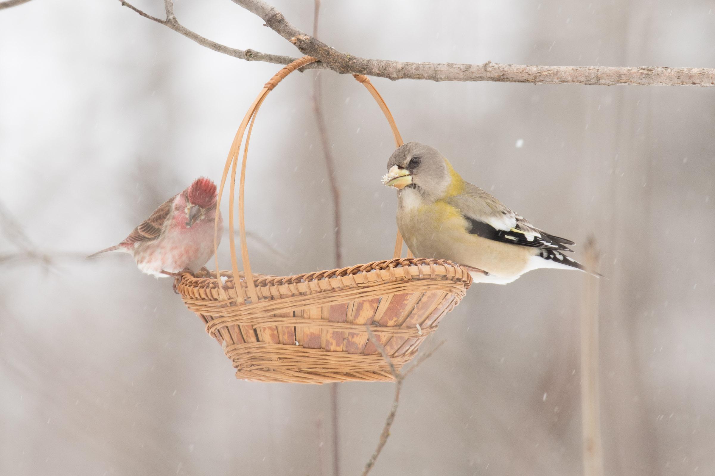 Evening Grosbeak and Purple Finch
