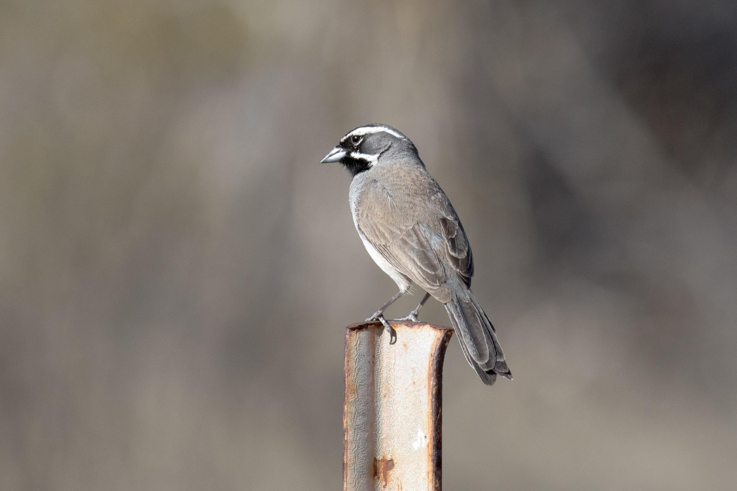 Black-throated_Sparrow_AF9A8678.jpg