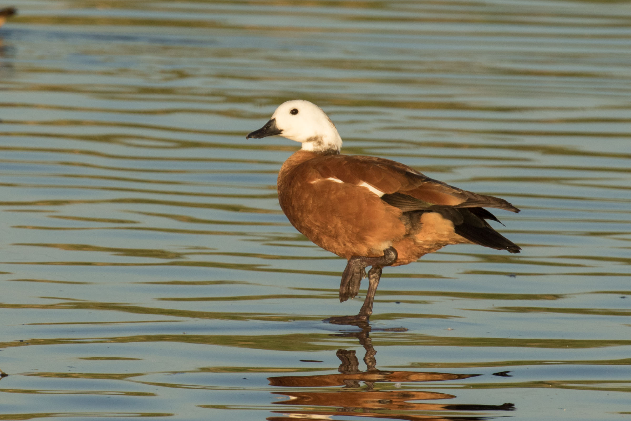 South African Shelduck, which we see on our South Africa tours and Namibia & Botswana tours. Photo by Josh Engel.