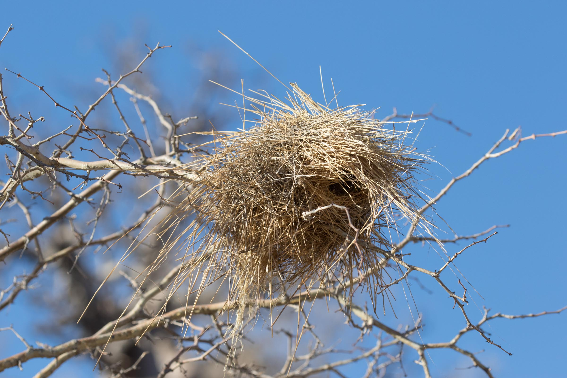 White-browed Sparrow Weaver nest