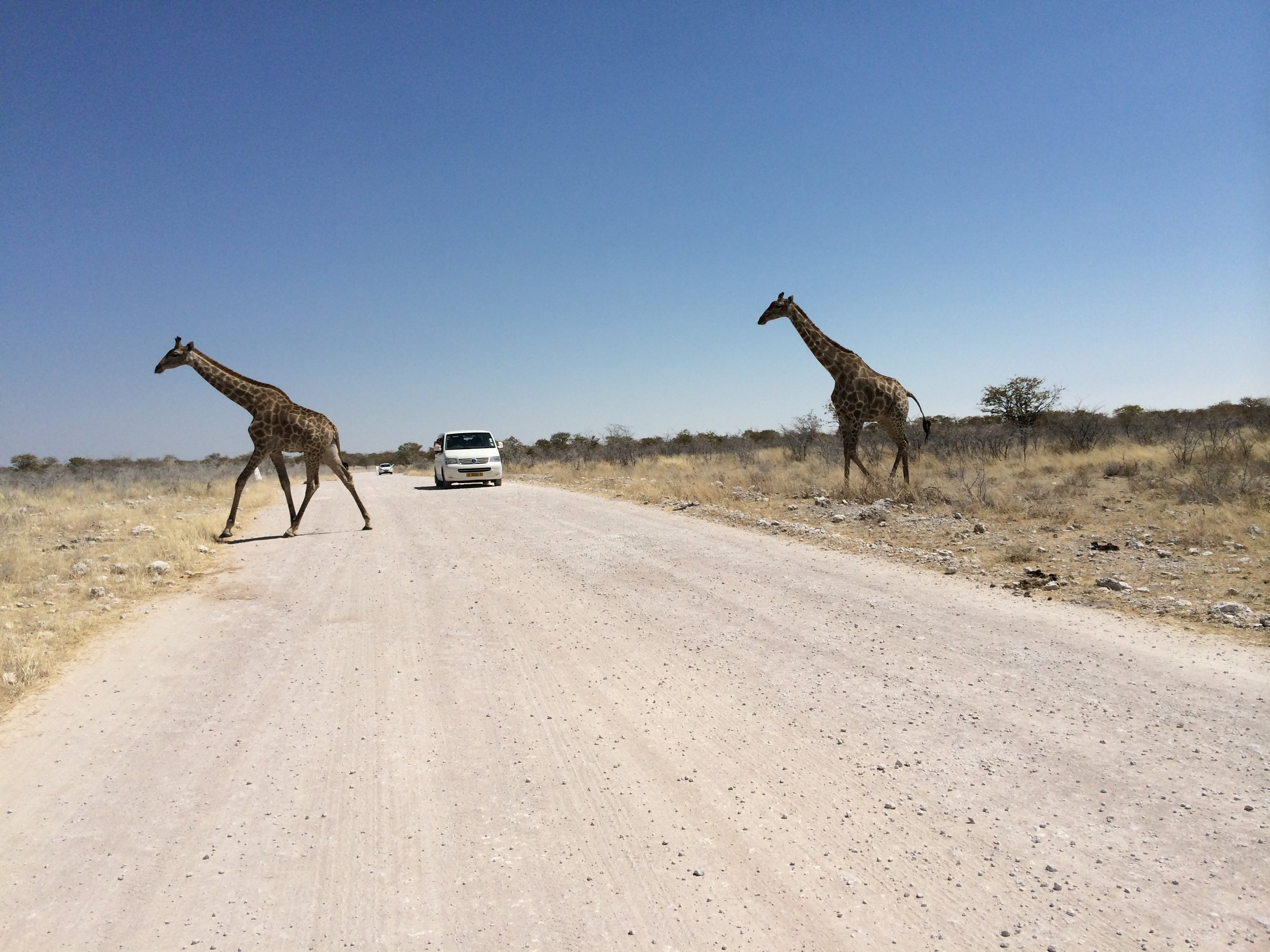 Road crossing Giraffes