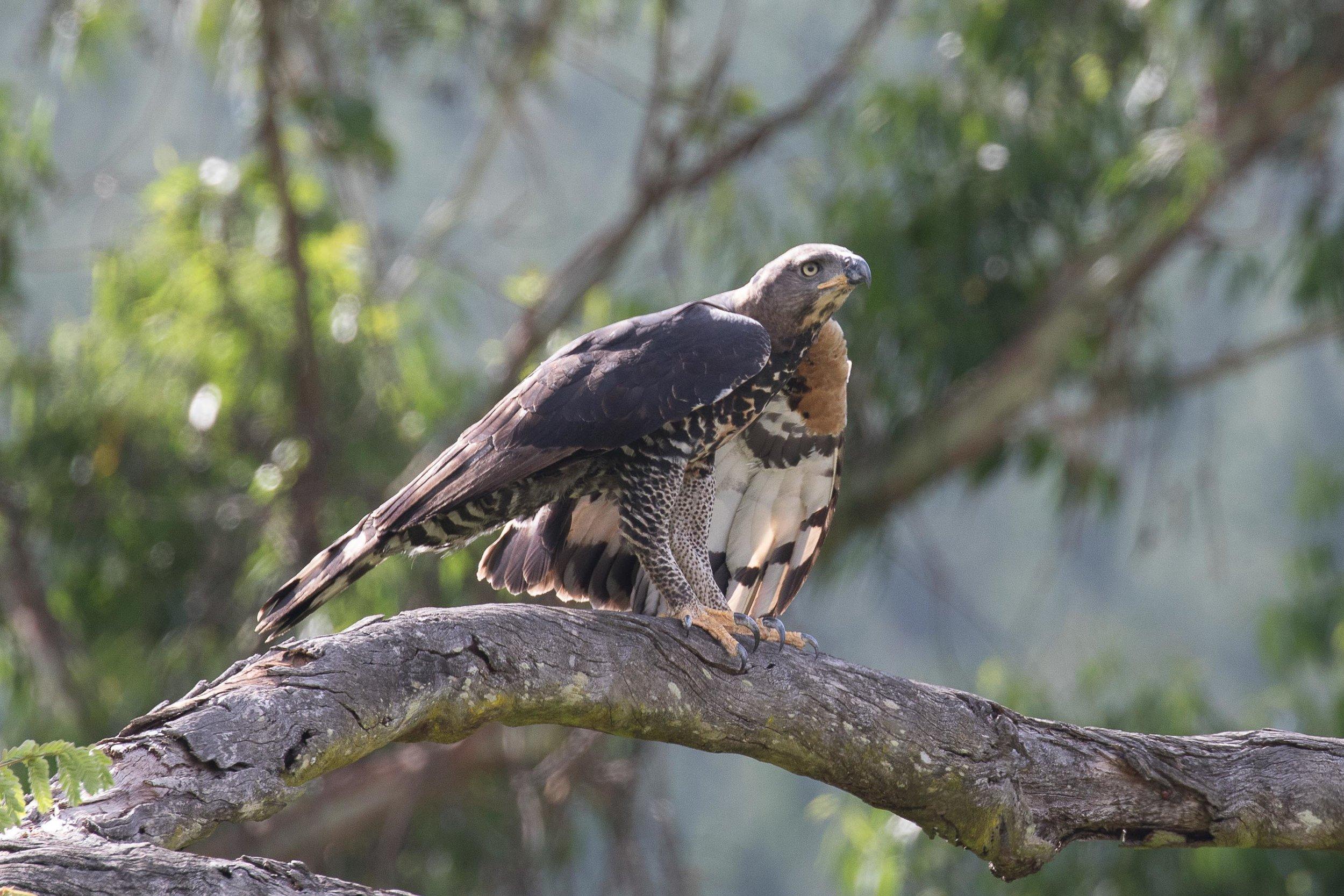 Crowned_Eagle_AF9A0698.jpg