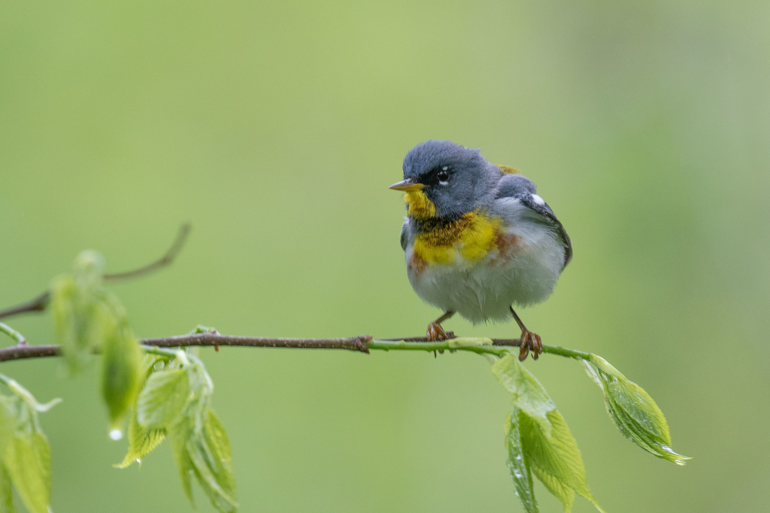 Northern Parula from a guided trip last week, at LaBagh Woods Forest Preserve in Chicago.