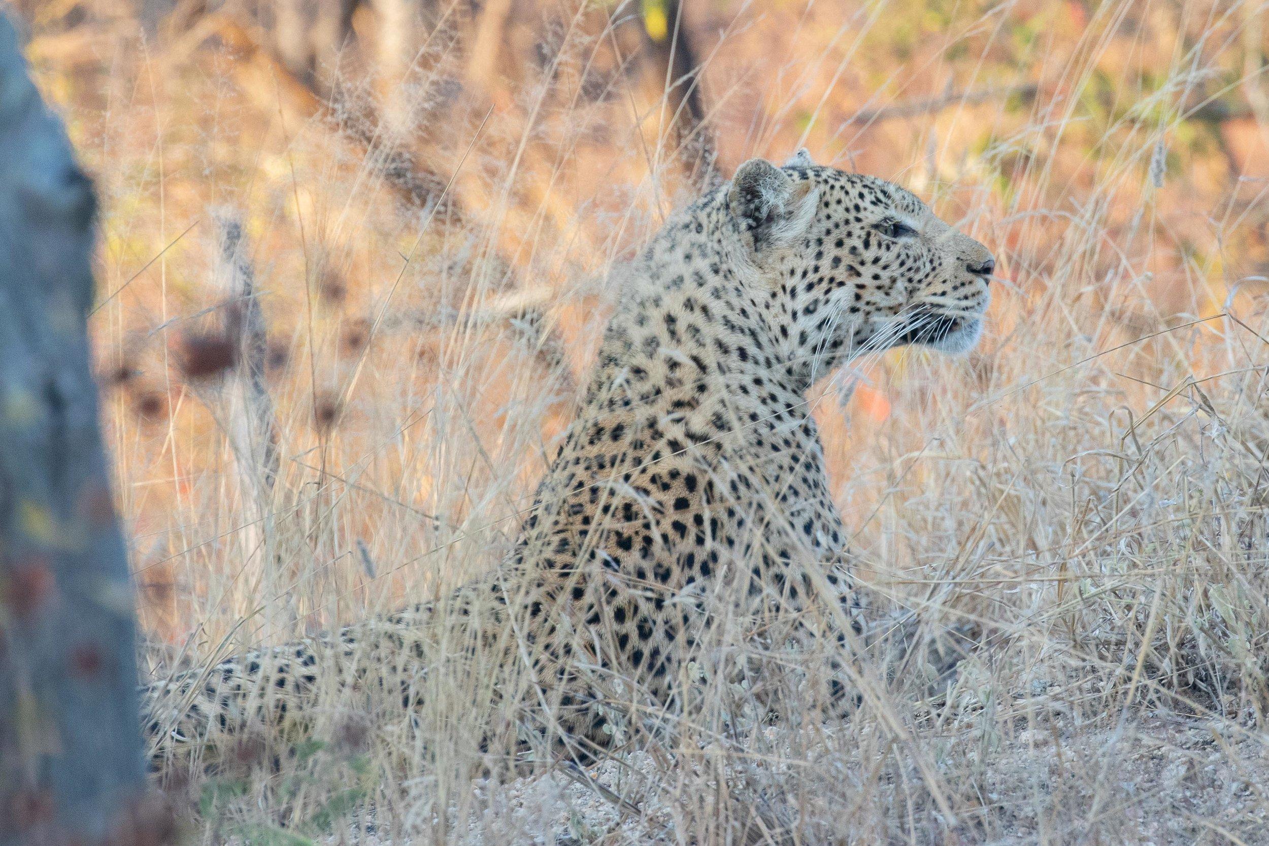 Leopard_AF9A5488.jpg