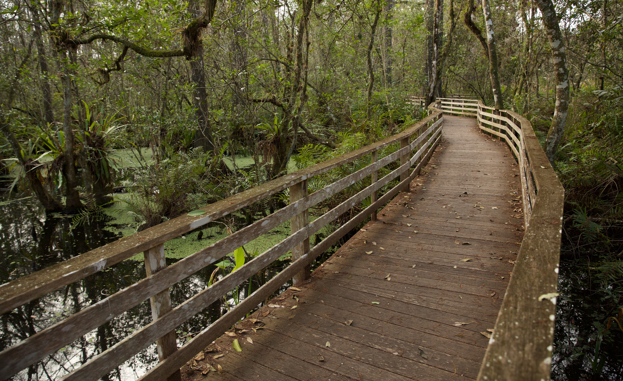 Corkscrew Swamp Boardwalk