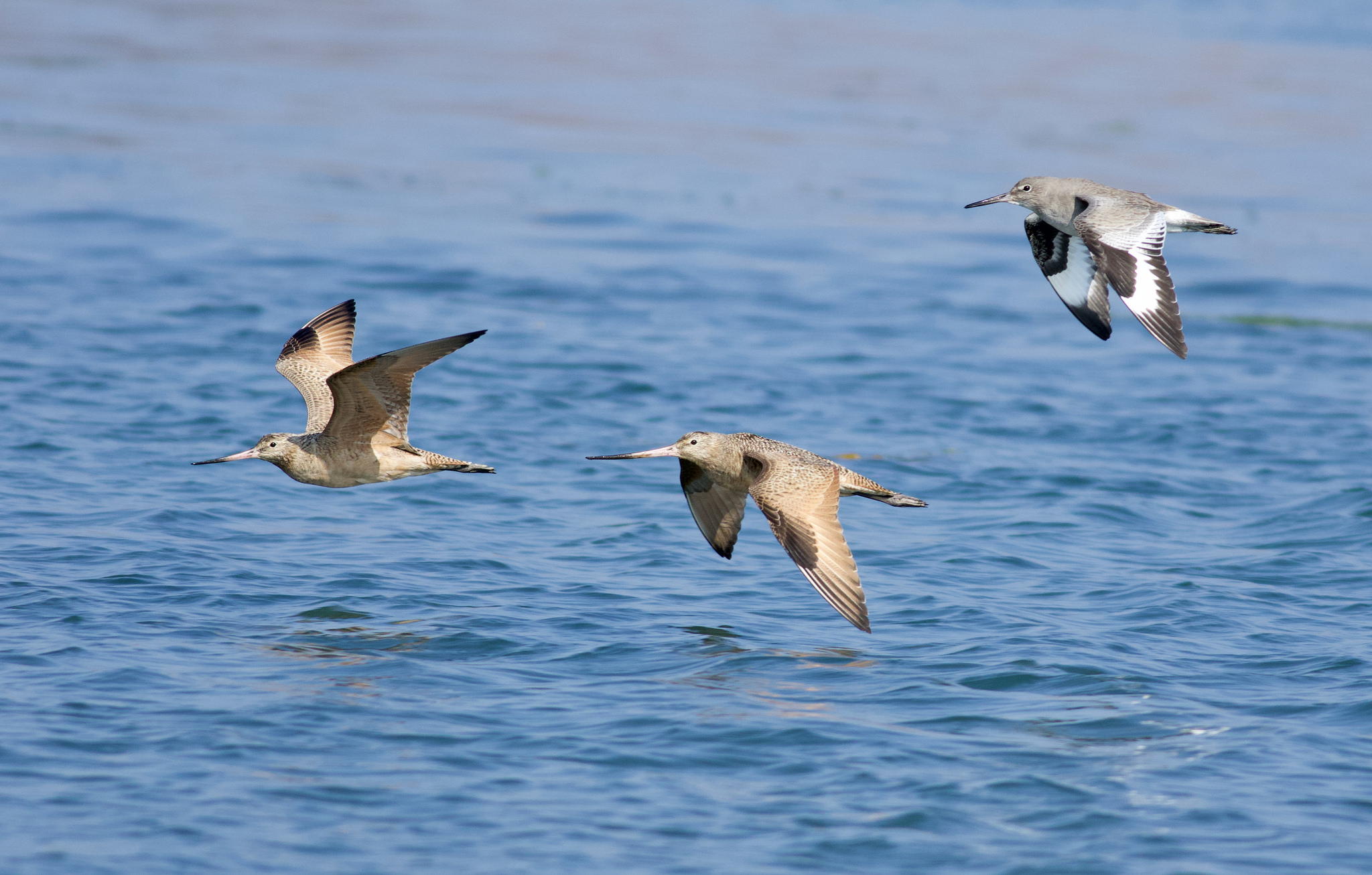 Marbled Godwits and a Willet