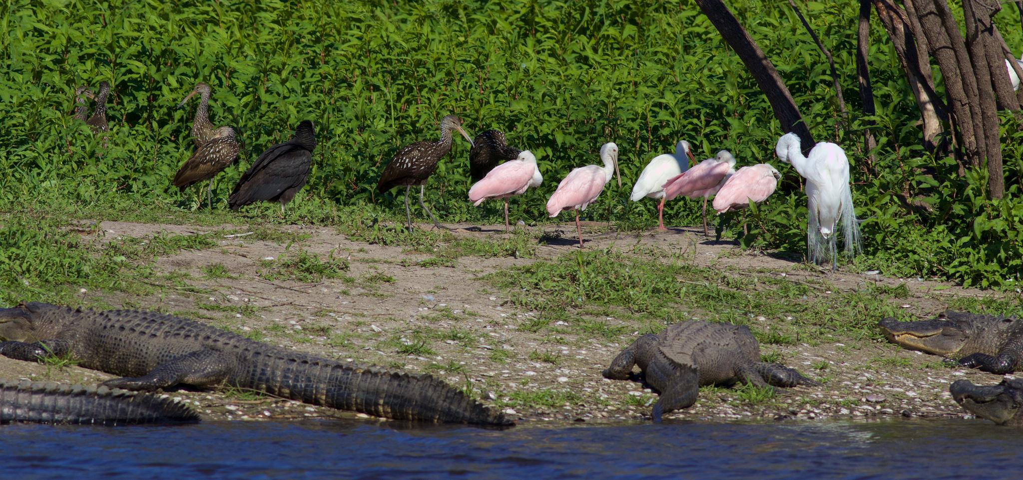 Black Vultures, Limpkins, Roseate Spoonbills, Great Egret, and American Alligators