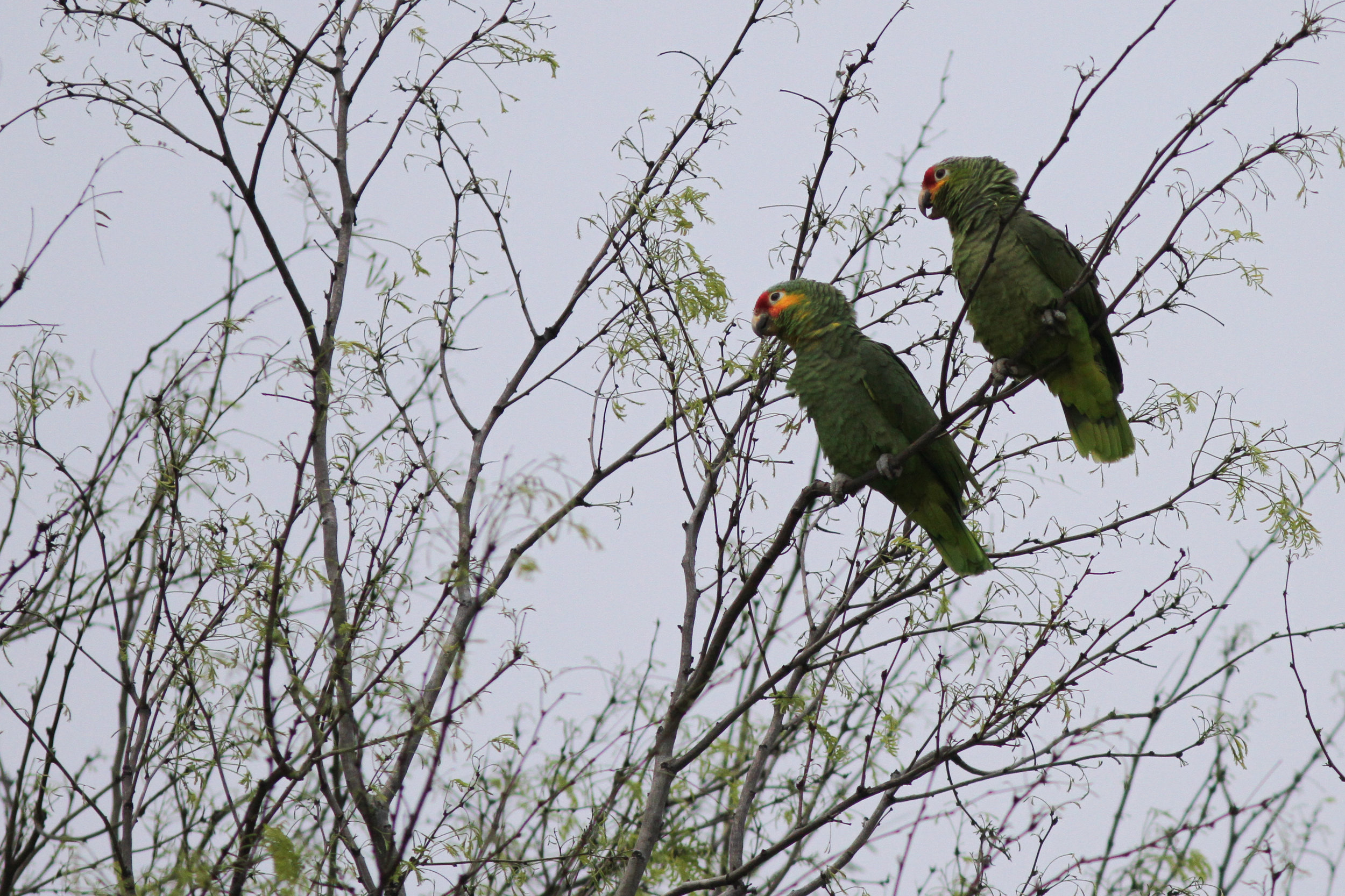 Red-lored Parrot (Amazon)