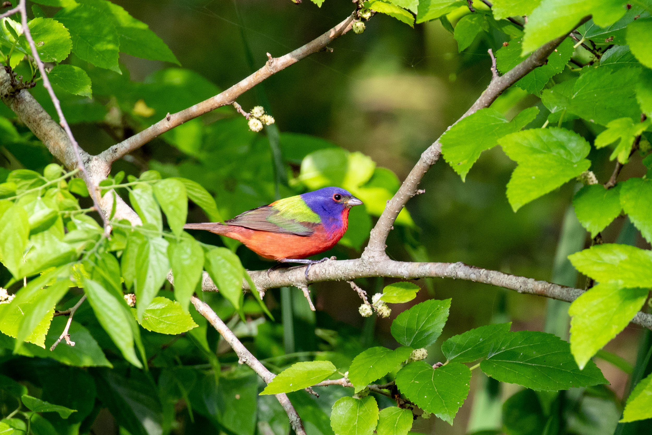 We saw Painted Bunting on both our Upper Texas Coast trip (where this photo was taken) and on our Texas Hill Country & Big Bend trips. Photo by Josh Engel.