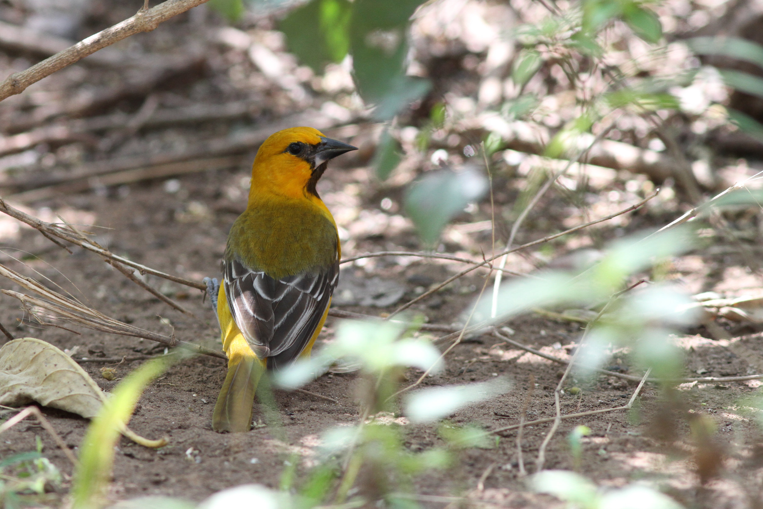 Altamira Oriole is found in the borderlands of South Texas. Photo by Nathan Goldberg.
