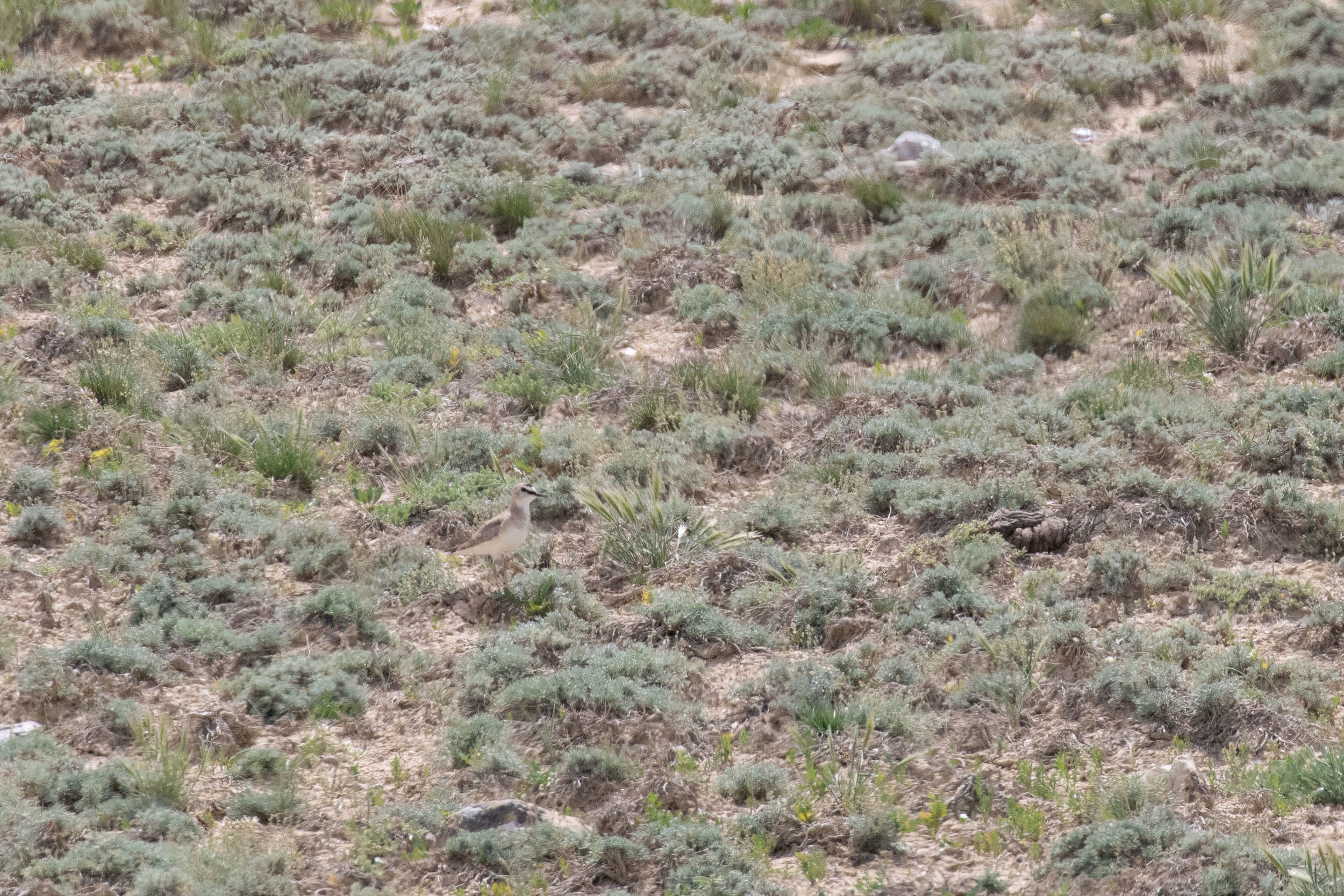 Find the Mountain Plover