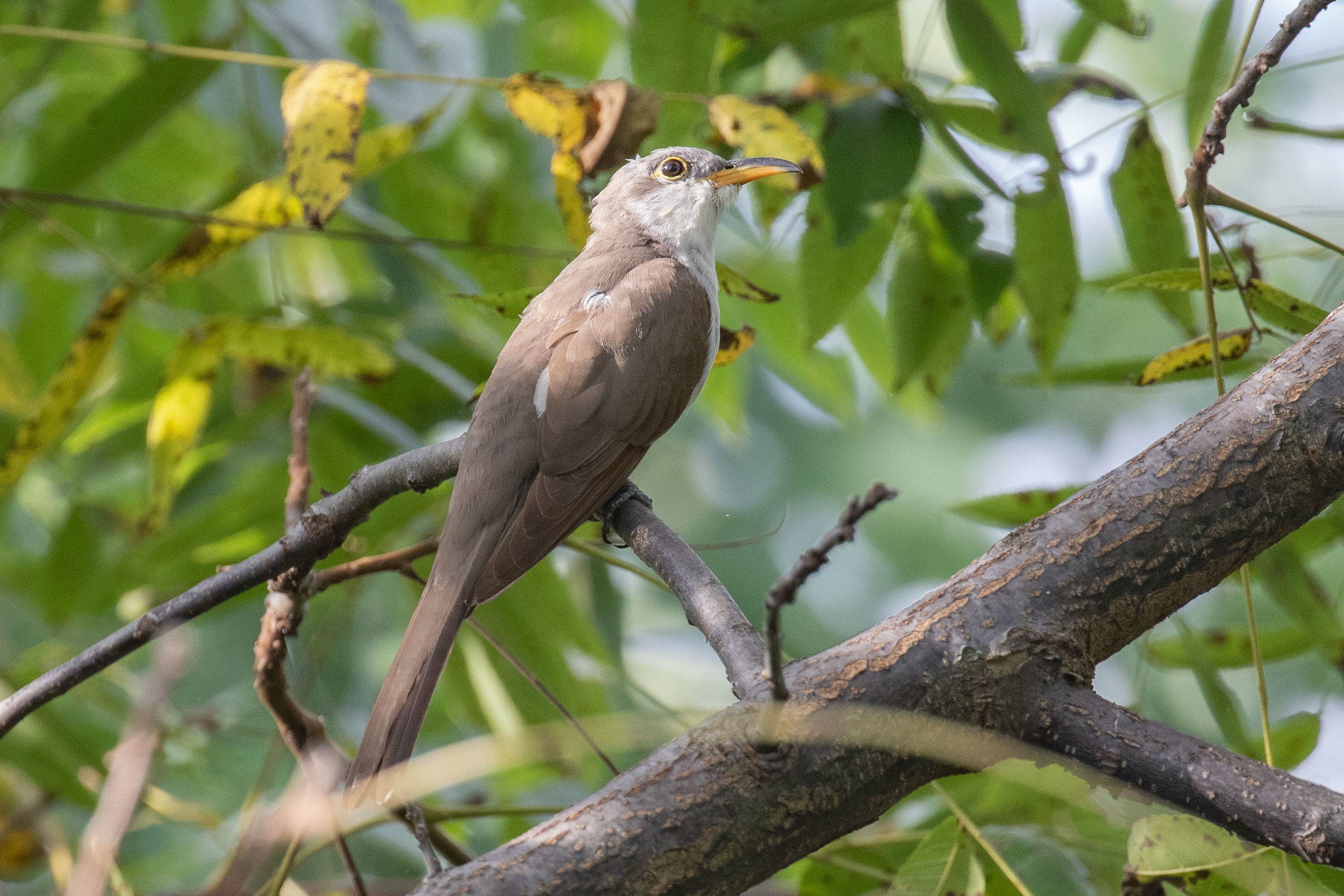 Jarvis Bird Sanctuary and Perkins Woods are both good places to see Yellow-billed Cuckoo in migration. Photo by Josh Engel.