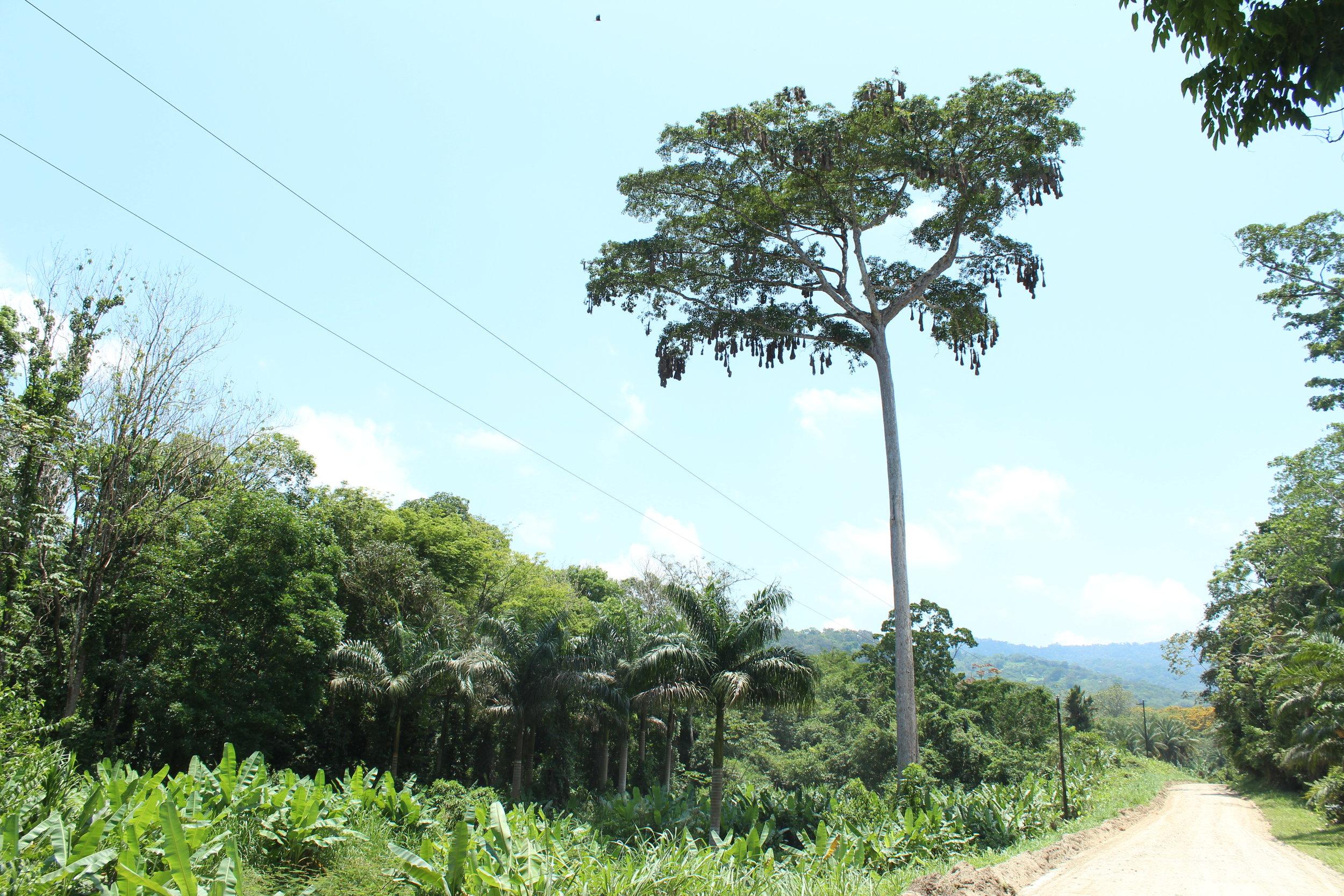 Roadside cecropia tree