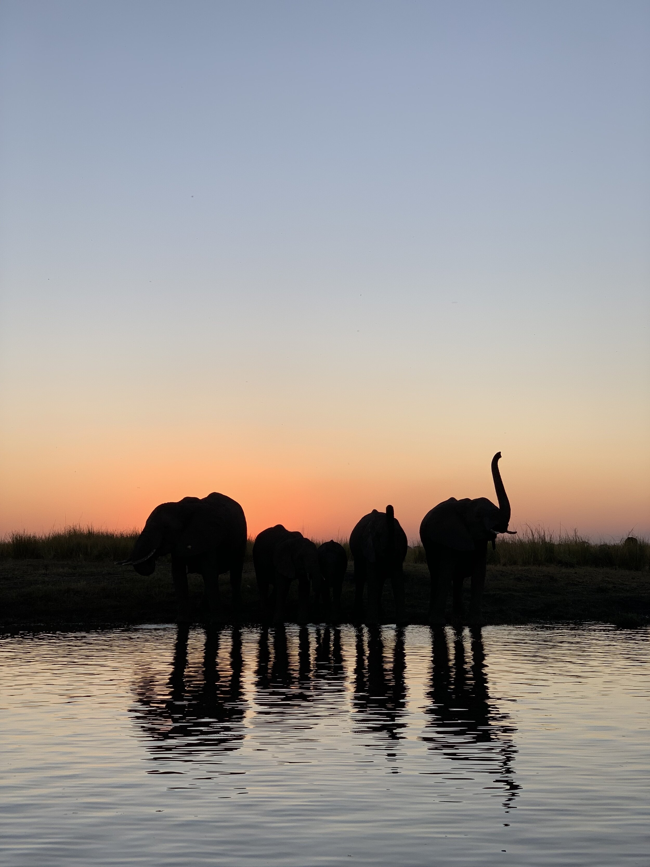 Elephants at sunset on the Chobe River.