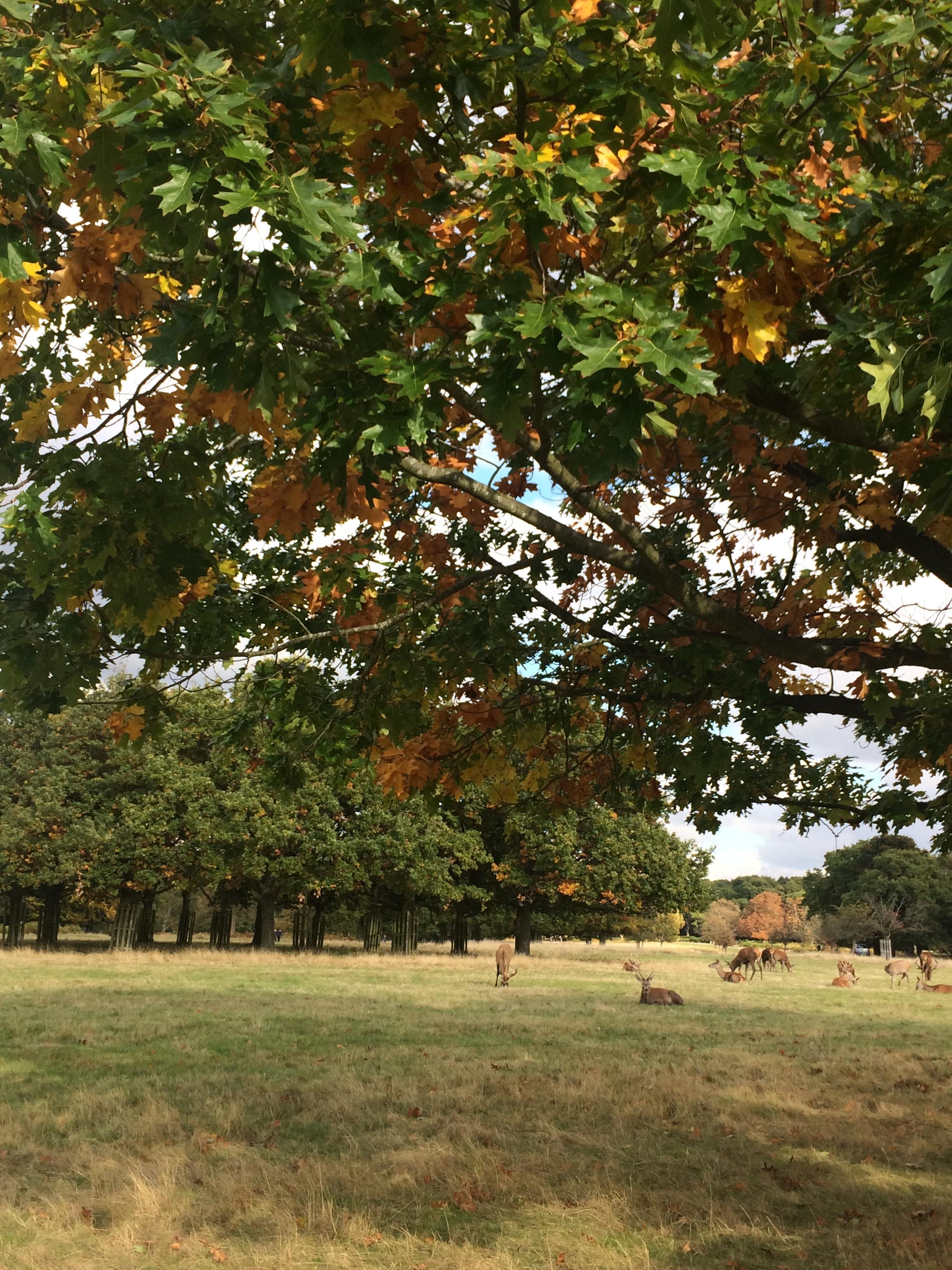 richmond-park-london-deer