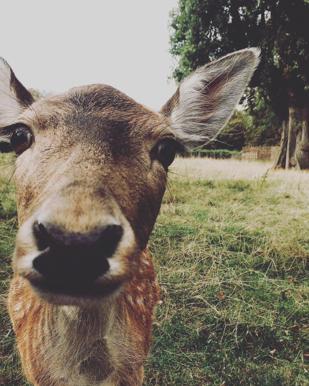 clissold-park-cute-deer