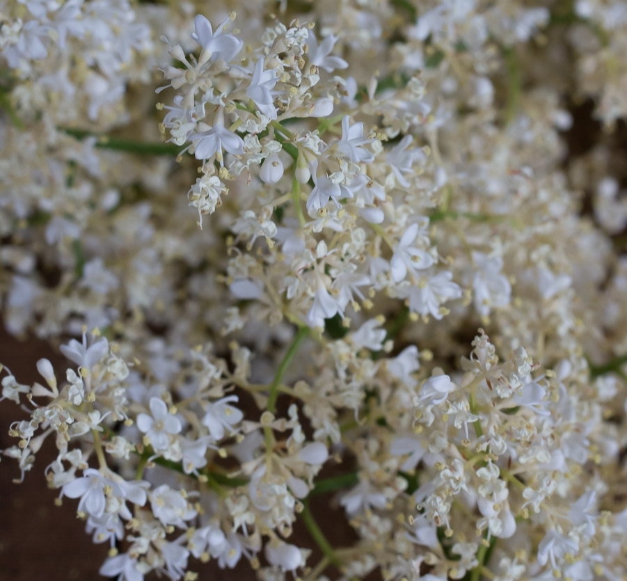 White flowering lilac