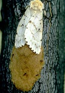 Female gypsy moth producing an egg mass