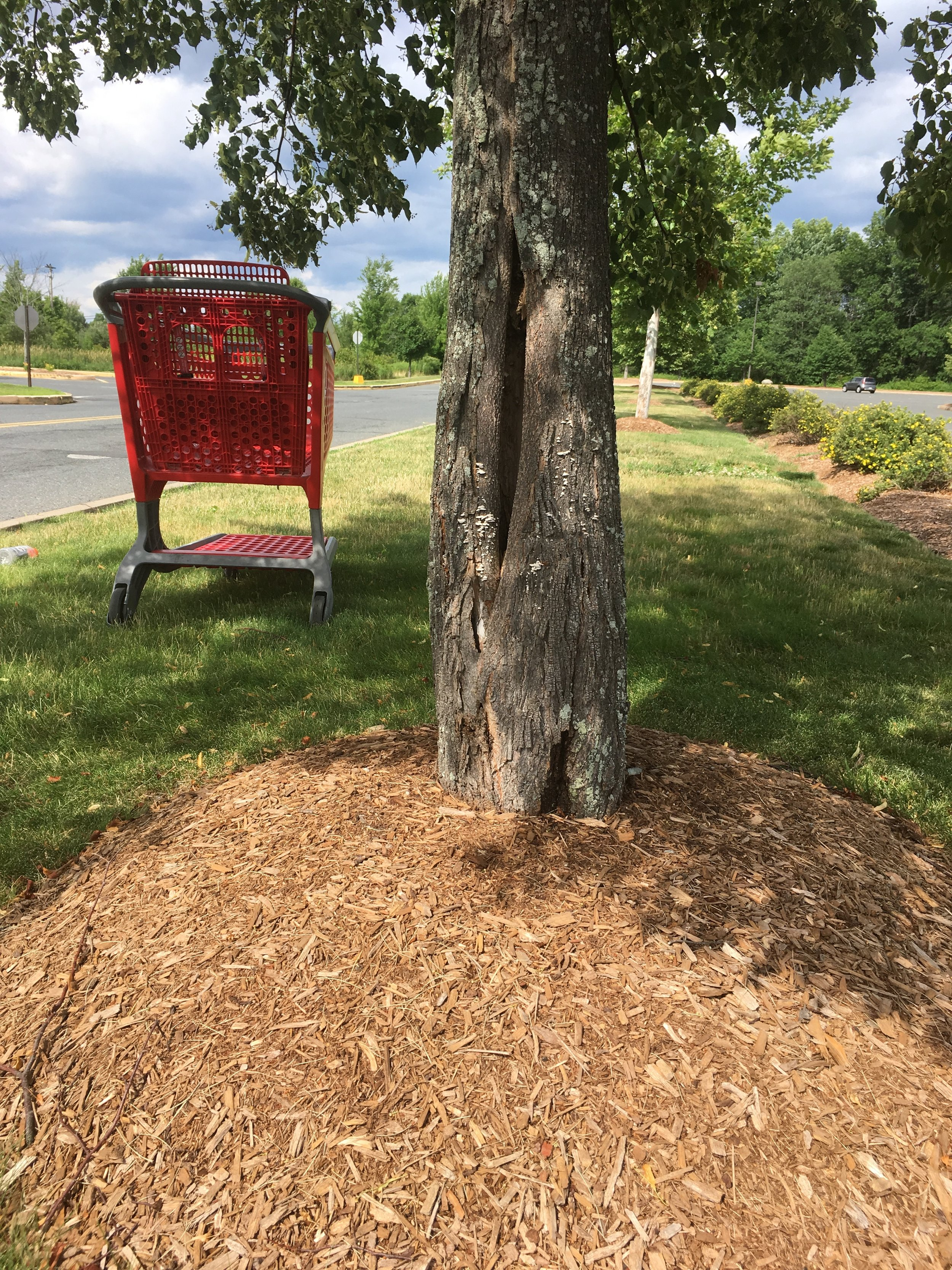 Close up of trunk buried in mulch; Hampshire Mall parking lot, Hadley