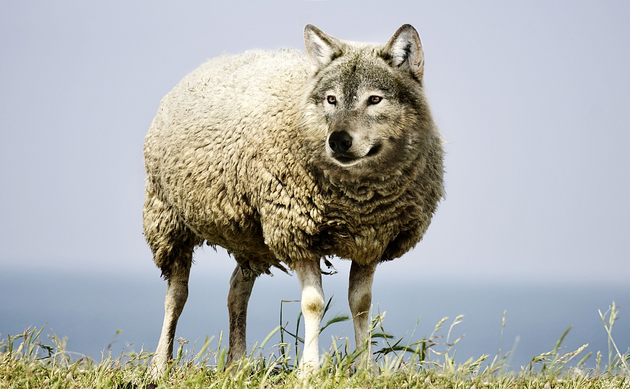 wolf sheep.png