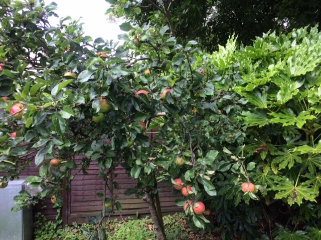 good pic of apples.JPG