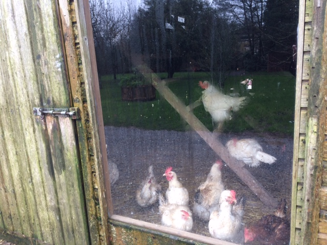 Some of the many chickens at Ballymaloe.