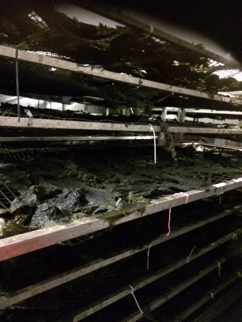 Drying racks at the Connemara Seaweed Company.