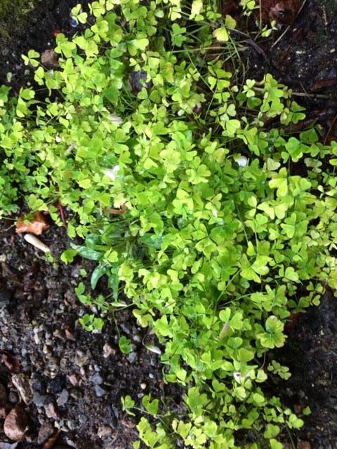 shamrocks growing in Maura Dickerson's garden in Galway.