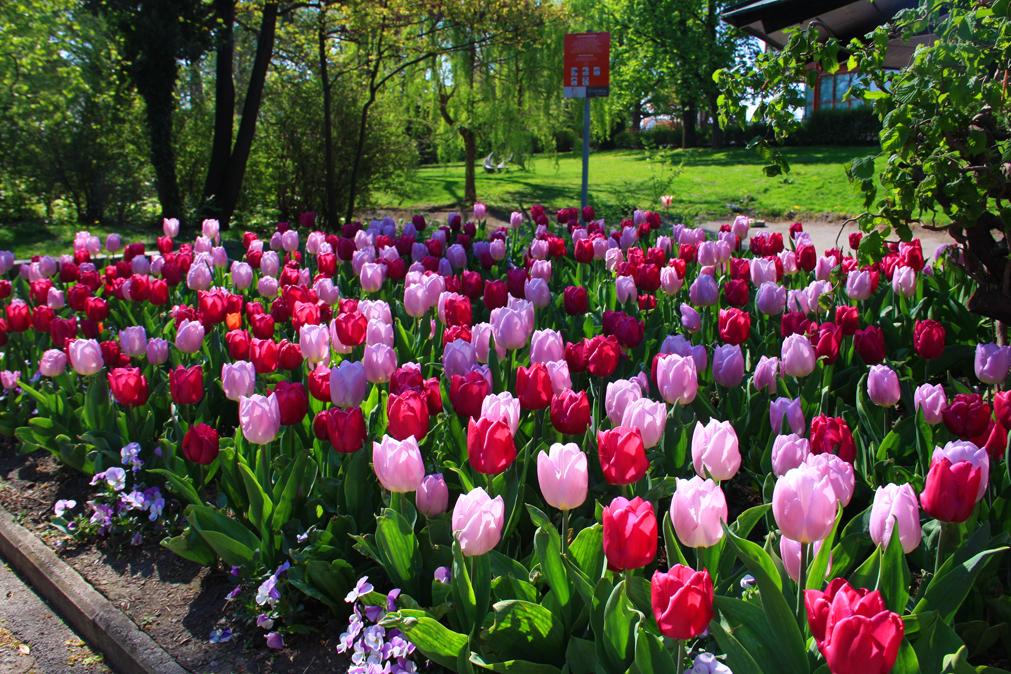 Tulips_Vienna