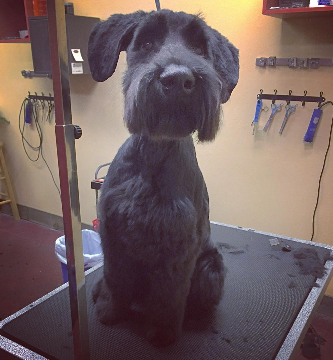 Bailey the Schnauzer.png