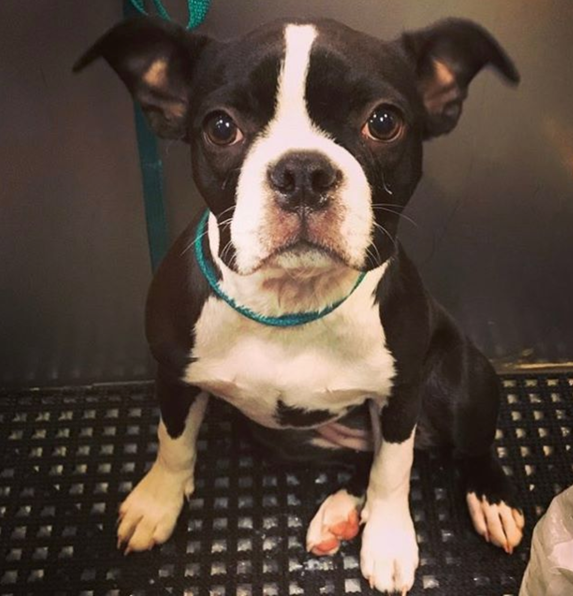Gidget the Adorable Boston Terrier.png