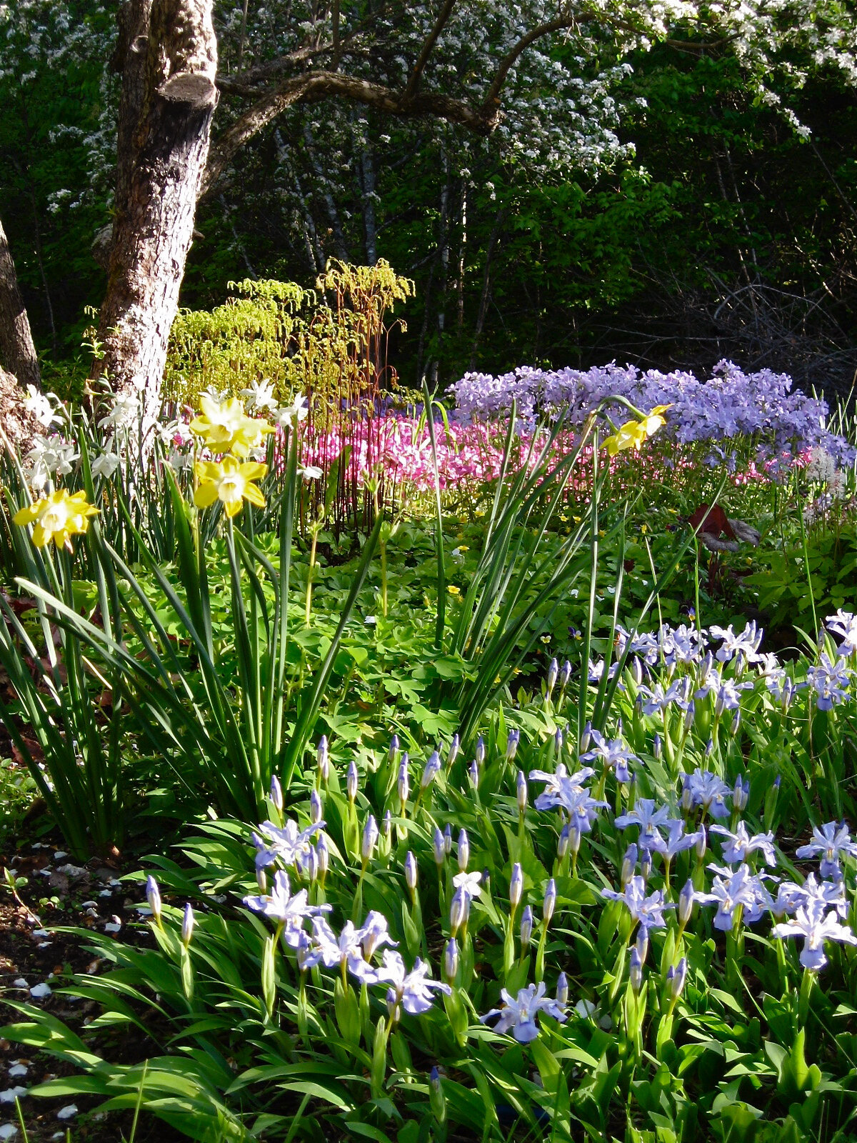 Many early spring flowering perennials are best planted now.