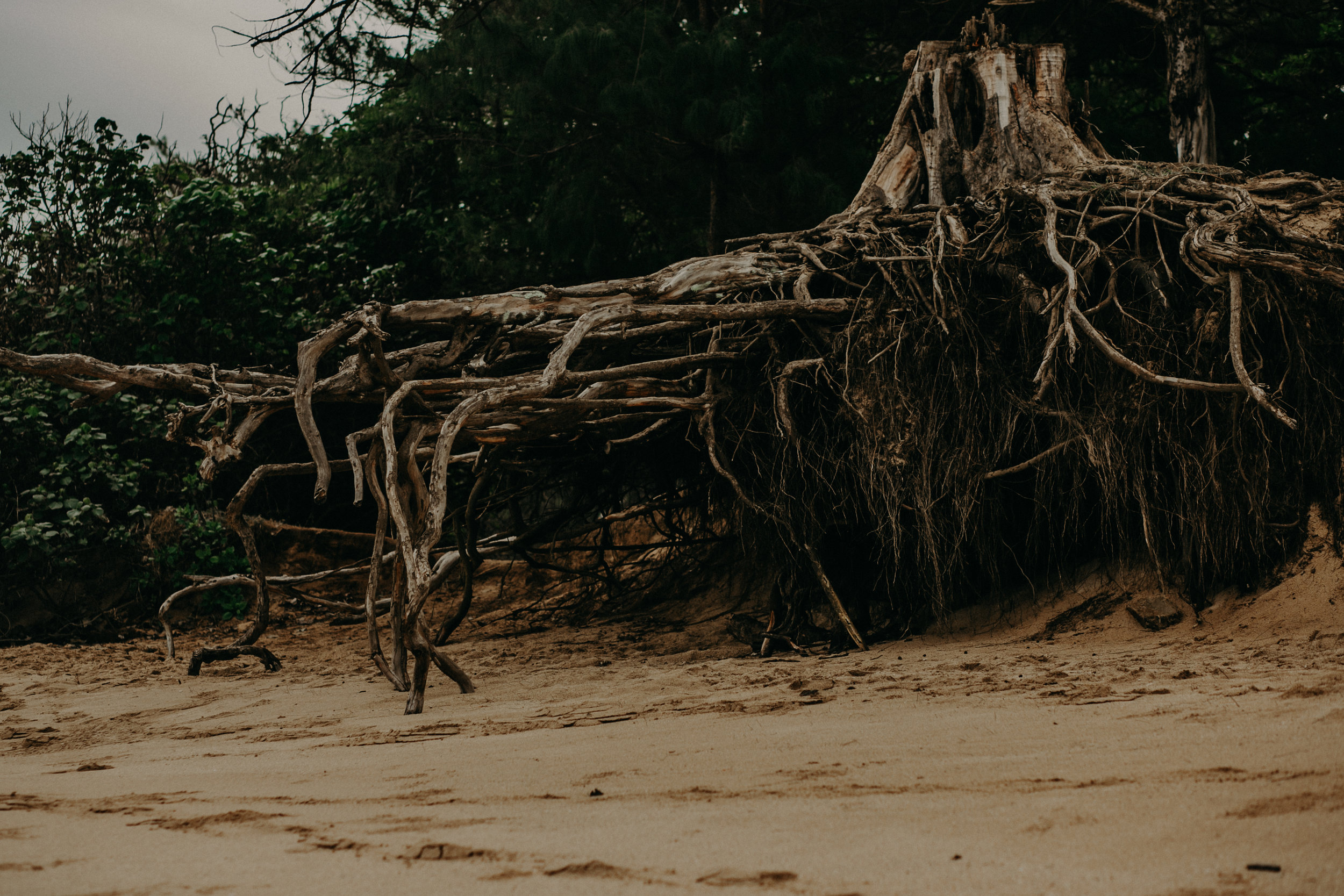 crazy tree roots growing on Secret Beach in Paia on Maui Hawaii
