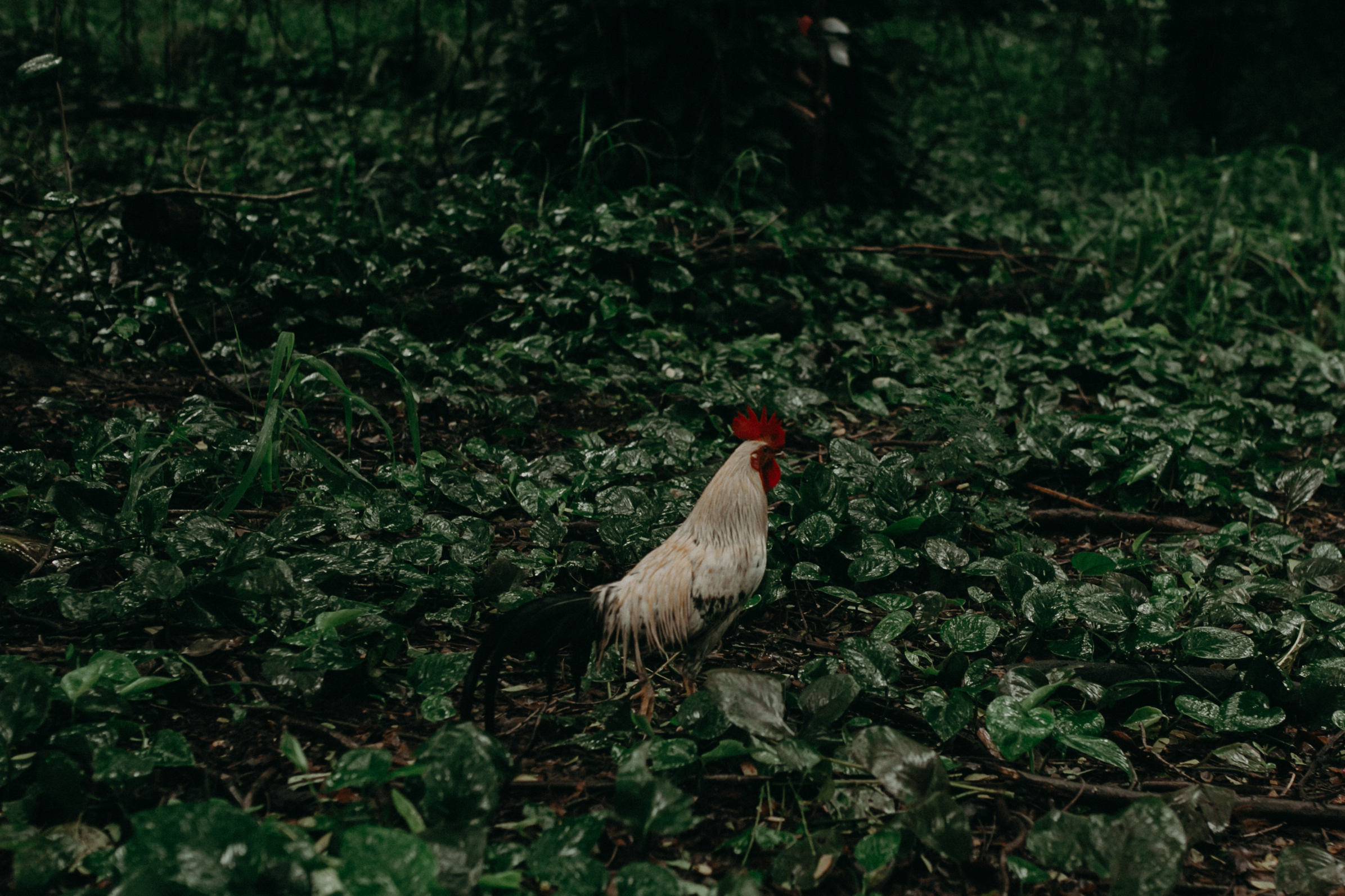 a chicken hangs out in the green lush forest of Honolua Bay in Maui