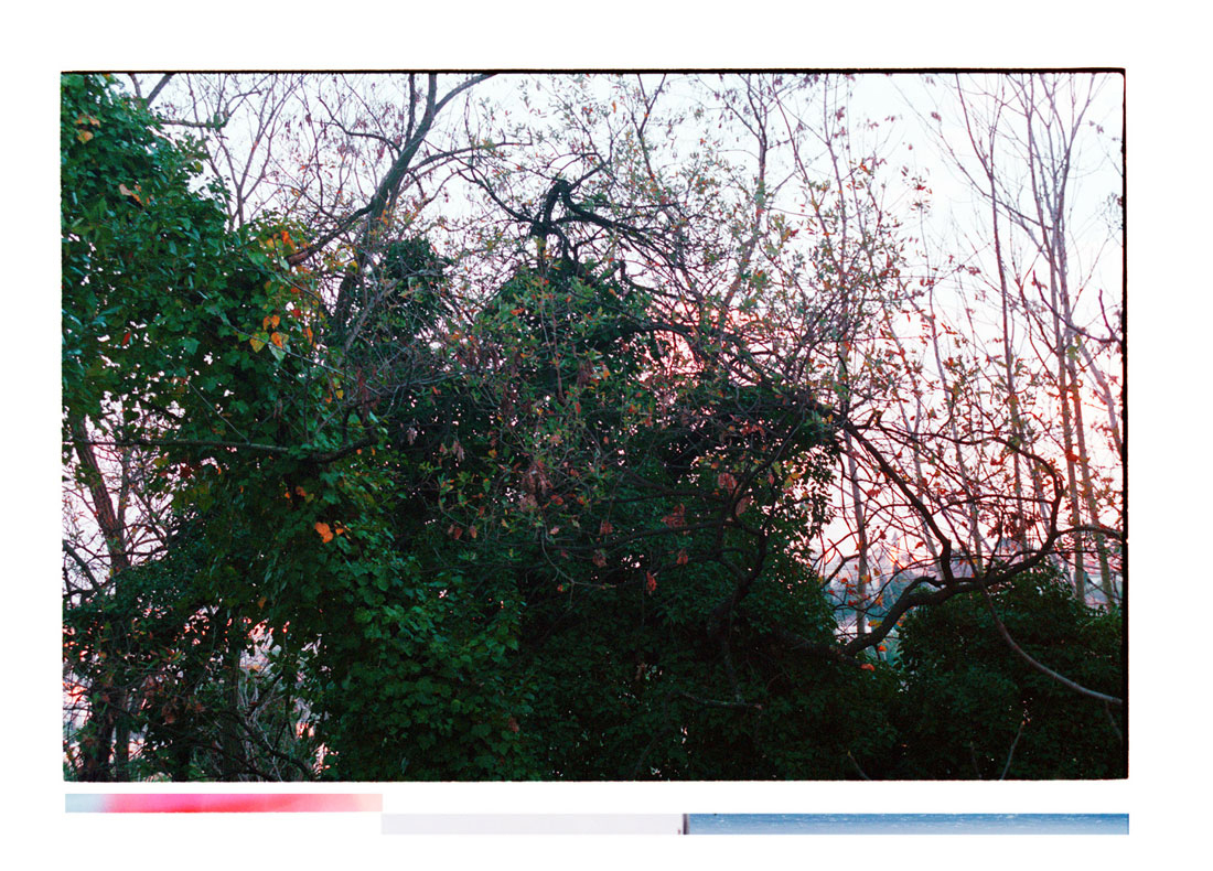 The Most Picturesque Scene That I Could Find [Tree tops covered with parasitic plants, sunset, Italy] [picture]. Archival Inkjet Print on Hahnemühle Photo Rag. 90x64cm Edition of 5 + 2AP.